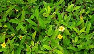 கரிசலாங்கண்ணி