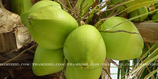 இளநீர், Cold, Body Temperature, Medicinal benefits of tender coconut, tender coconut, coconut