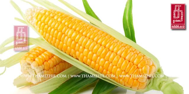 சோளம், solam, maize, corn, corn Field, Healthy, digestion, உடல்நலம், மருத்துவம், ஆரோக்கியம், சித்த, இயற்கை, பாட்டிவைத்தியம், சித்த மருத்துவம்